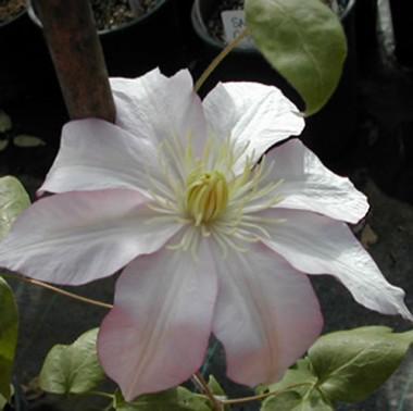 Клематис Rose Supreme фото