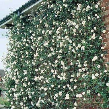 Розы Кордес