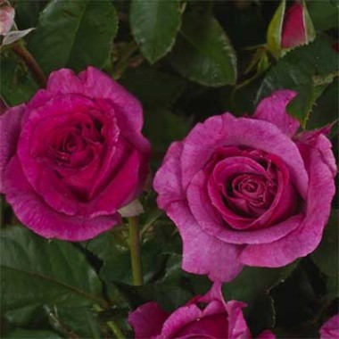 Роза Climbing Violette Parfume описание
