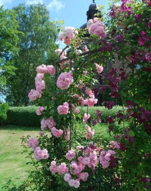 Роза плетистая Climbing Bonica 98 купить онлайн