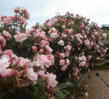 Роза Compassion почтой