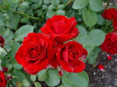 Роза Courage смотреть