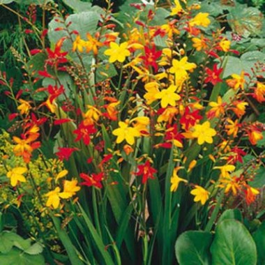 Крокосмия Мелкоцветковая Микс фото цена