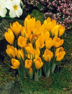 Крокус Yellow Giant фото