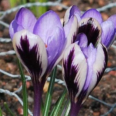 Крокус Spring Beauty описание