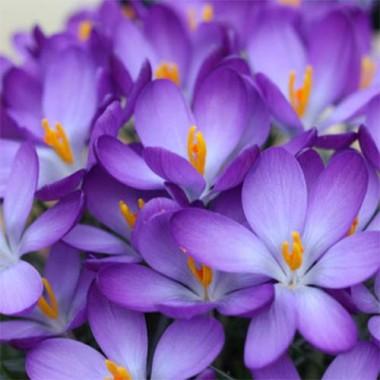 Крокуc Whitewell Purple фото