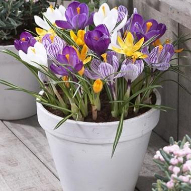 Крокус Крупноцветковый Микс купить онлайн