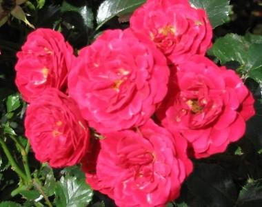 Роза Dacapo описание