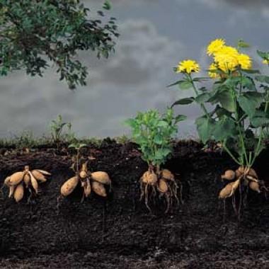 Кактусовые и полукактусовые георгины купить