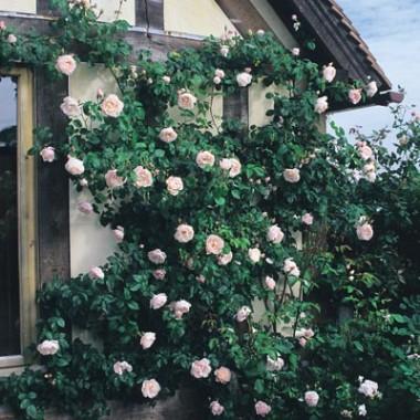 Роза Generous Gardener (плетистая) смотреть