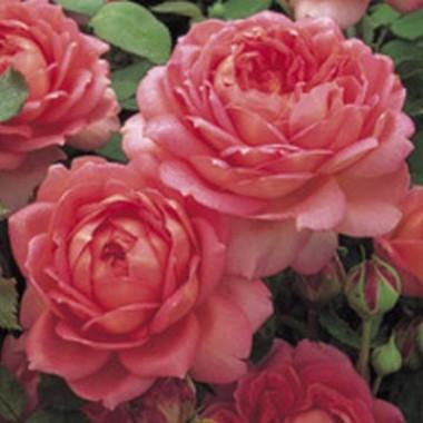 Роза Jubilee Celebration смотреть