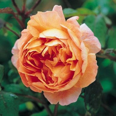 Роза Lady Emma Hamilton фото