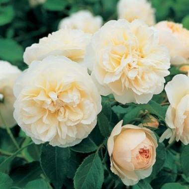 Роза Lichfield Angel в киеве