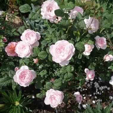 Роза Queen of Sweden фото