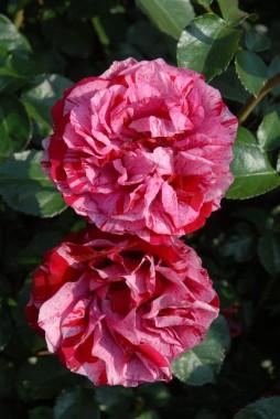 Роза Deep Impression смотреть