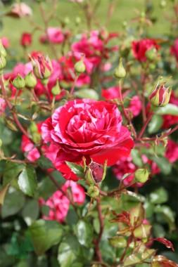 Роза Deep Impression в киеве
