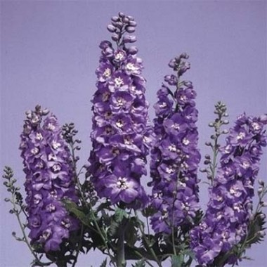 Дельфиниум Lavender White Bee фото цена