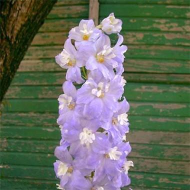 Дельфиниум Lavender White Bee в киеве