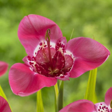 Тигридия Lilacea фото цена