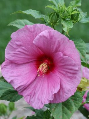 Гибискус садовый Fantasia в киеве