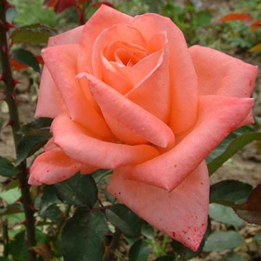 Роза Dolce Vita почтой