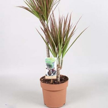 Большие комнатные растения купить