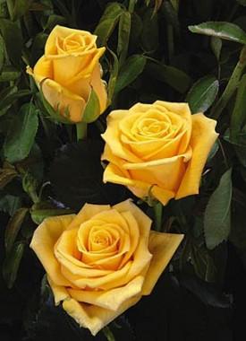 Роза плетистая Dukat купить онлайн