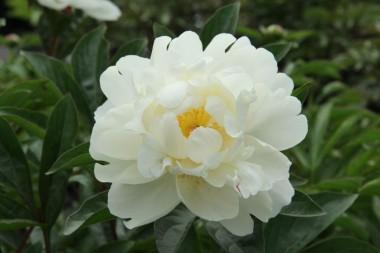 Пион Gardenia в киеве