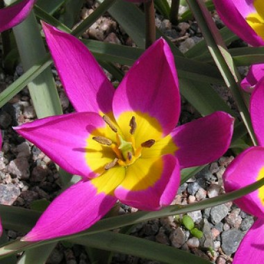 Тюльпан Eastern Star фото цена