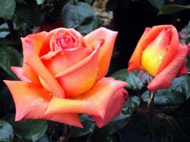 Роза Vedette смотреть