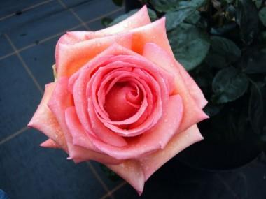 Роза Vedette описание