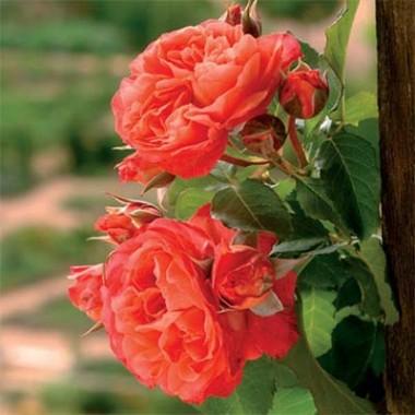 Роза Emillen Guillot почтой