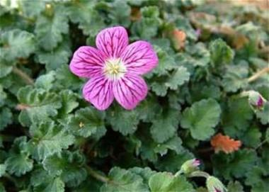 Эродиум Roseum фото