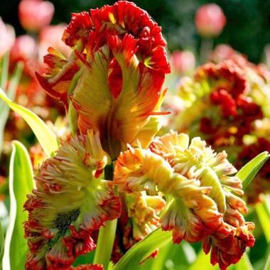 Тюльпан Exotic Parrot фото
