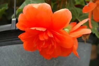 Бегония Multiflora Maxima оранжевая интернет-магазин