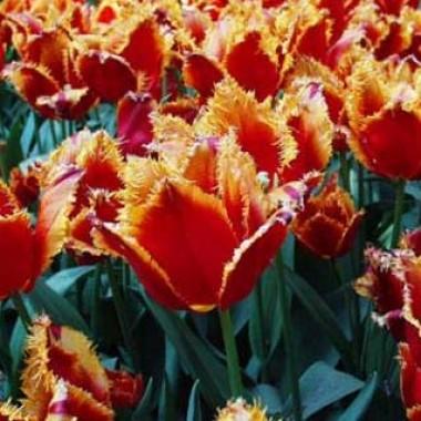 Тюльпан Fabio фото