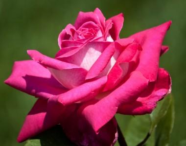 Роза Acapella  описание