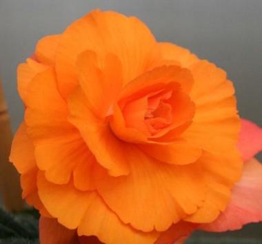 Бегония Multiflora Maxima оранжевая фото цена