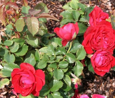 Роза Look Good...Feel Better почтой