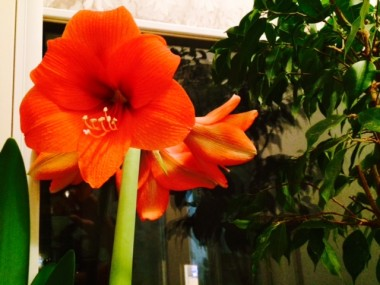 Амариллис Naranja фото