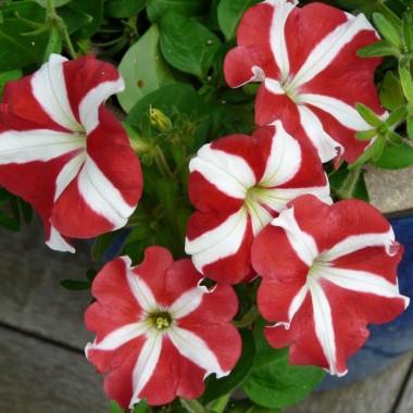 Семена цветов купить