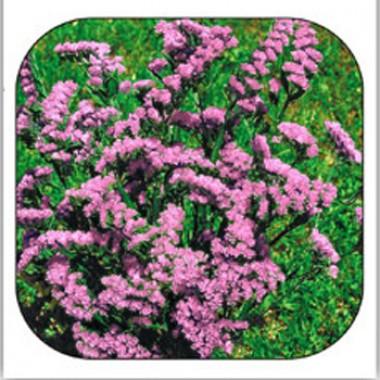 Кермек Сюрприз розовый фото