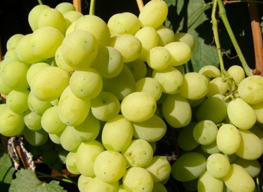 Виноград Лора смотреть