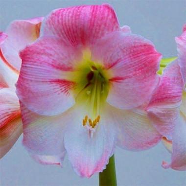 Амариллис Cherry Blossom фото