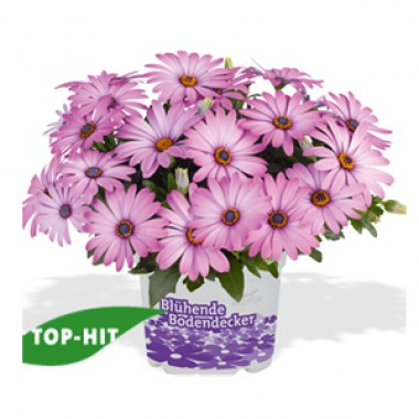 Остеоспермум Swing Lavender купить онлайн