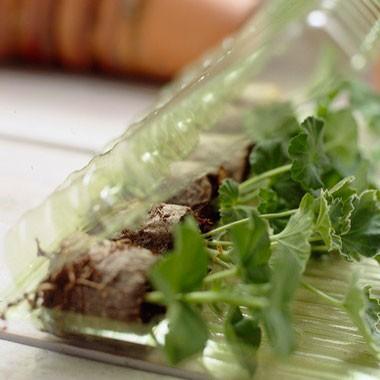 Седум Salsa Verde фото цена