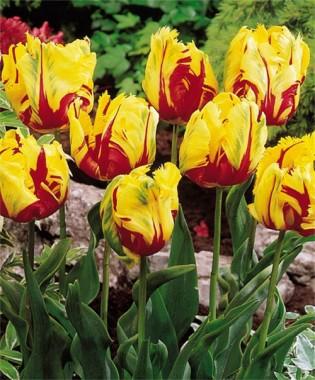 Попугайные тюльпаны купить