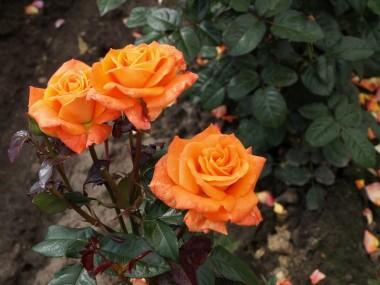 Роза Flora Danica купить онлайн