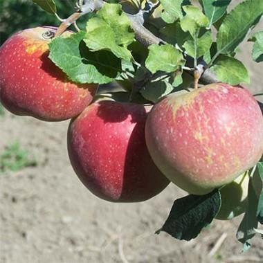Яблоня Флорина в киеве