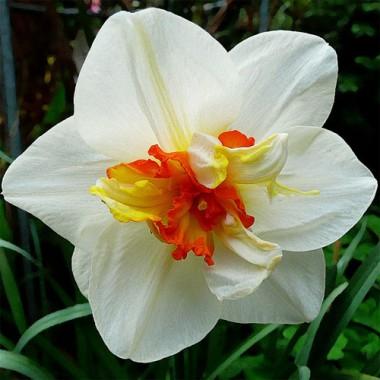 Нарцисс Flower Drift смотреть